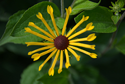 Henry Eilers Coneflower (Rudbeckia subtomentosa 'Henry Eilers') at The Growing Place