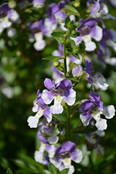 Angelface® Wedgewood Blue Angelonia (Angelonia angustifolia 'Angelface Wedgewood Blue') at The Growing Place