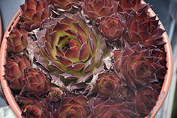 Black Hens And Chicks (Sempervivum 'Black') at The Growing Place