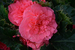Nonstop® Pink Begonia (Begonia 'Nonstop Pink') at The Growing Place