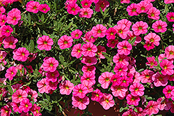 Cabaret® Hot Pink Calibrachoa (Calibrachoa 'Cabaret Hot Pink') at The Growing Place