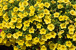 Cabaret® Deep Yellow Calibrachoa (Calibrachoa 'Cabaret Deep Yellow') at The Growing Place