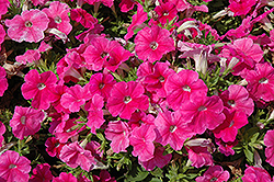 Pretty Flora Pink Petunia (Petunia 'Pretty Flora Pink') at The Growing Place