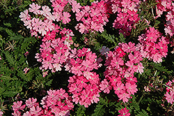 Lanai® Bright Pink Verbena (Verbena 'Lanai Bright Pink') at The Growing Place