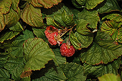 Raspberry Shortcake® Raspberry (Rubus 'NR7') at The Growing Place