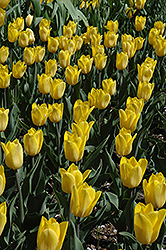 Strong Gold Tulip (Tulipa 'Strong Gold') at The Growing Place