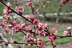 Reliance Peach (Prunus persica 'Reliance') at The Growing Place