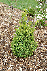 Green Mountain Boxwood (Buxus 'Green Mountain') at The Growing Place