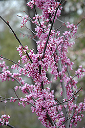 Forest Pansy Redbud (Cercis canadensis 'Forest Pansy') at The Growing Place