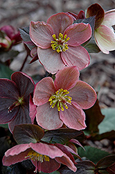 Pink Frost Hellebore (Helleborus 'COSEH 710') at The Growing Place