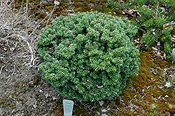 Cis Dwarf Korean Fir (Abies koreana 'Cis') at The Growing Place