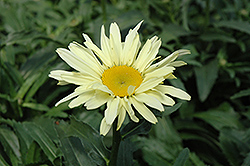 Banana Cream Shasta Daisy (Leucanthemum x superbum 'Banana Cream') at The Growing Place