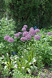 Globemaster Ornamental Onion (Allium 'Globemaster') at The Growing Place