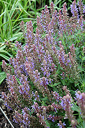 Blue Hill Sage (Salvia x sylvestris 'Blue Hill') at The Growing Place