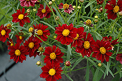 Mercury Rising Tickseed (Coreopsis 'Mercury Rising') at The Growing Place