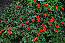 Orange Gnome Campion (Lychnis x arkwrightii 'Orange Gnome') at The Growing Place