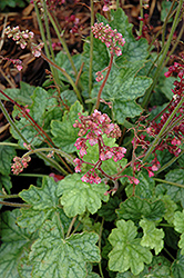 Berry Timeless Coral Bells (Heuchera 'Berry Timeless') at The Growing Place