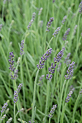 Silver Mist Lavender (Lavandula angustifolia 'Silver Mist') at The Growing Place