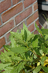 Bay Laurel (Laurus nobilis) at The Growing Place