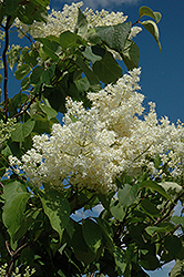 Ivory Silk Tree Lilac (tree form) (Syringa reticulata 'Ivory Silk (tree form)') at The Growing Place