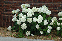 Incrediball Hydrangea (Hydrangea arborescens 'Abetwo') at The Growing Place