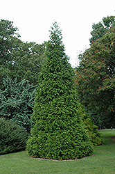 Green Giant Arborvitae (Thuja 'Green Giant') at The Growing Place