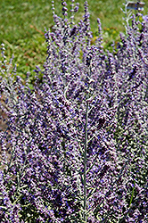 Rocketman Russian Sage (Perovskia atriplicifolia 'Rocketman') at The Growing Place