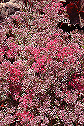 Rosy Glow Stonecrop (Sedum 'Rosy Glow') at The Growing Place