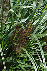 Red Head Fountain Grass (Pennisetum alopecuroides 'Red Head') at The Growing Place