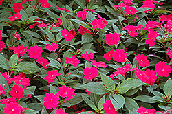 Bounce™ Cherry Impatiens (Impatiens 'Balboucher') at The Growing Place