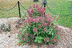 Mystical Flame Hydrangea (Hydrangea paniculata 'Bokratorch') at The Growing Place