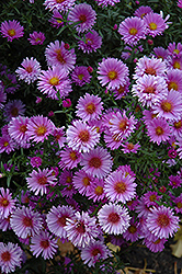 Purple Dome Aster (Aster novae-angliae 'Purple Dome') at The Growing Place