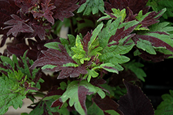Twist And Twirl Coleus (Solenostemon scutellarioides 'Twist And Twirl') at The Growing Place
