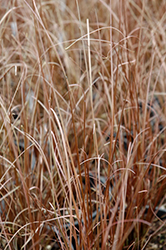 Red Rooster Sedge (Carex buchananii 'Red Rooster') at The Growing Place
