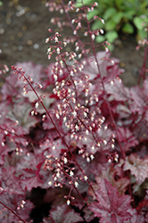 Amethyst Mist Coral Bells (Heuchera 'Amethyst Mist') at The Growing Place