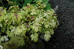 Golden Zebra Foamy Bells (Heucherella 'Golden Zebra') at The Growing Place