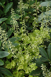 Lime Marmalade Coral Bells (Heuchera 'Lime Marmalade') at The Growing Place