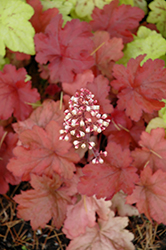 Fire Alarm Coral Bells (Heuchera 'Fire Alarm') at The Growing Place