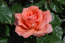 Sweet Fragrance Rose (Rosa 'Sweet Fragrance') at The Growing Place
