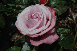 Barbra Streisand® Rose (Rosa 'WEKquaneze') at The Growing Place