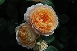 Crown Princess Margareta Rose (Rosa 'Crown Princess Margareta') at The Growing Place