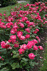 Double Knock Out® Rose (Rosa 'Radtko') at The Growing Place