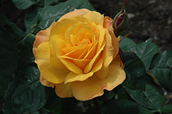 Good As Gold Rose (Rosa 'WEKgobafa') at The Growing Place