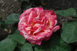 Sedona Rose (Rosa 'JACmcall') at The Growing Place