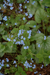 Alexander's Great Bugloss (Brunnera macrophylla 'Alexander's Great') at The Growing Place