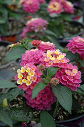 Bandana® Pink Lantana (Lantana camara 'Bandana Pink') at The Growing Place