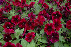 Sweetunia Johnny Flame Petunia (Petunia 'Sweetunia Johnny Flame') at The Growing Place