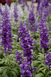 Cathedral™ Deep Blue Salvia (Salvia farinacea 'Cathedral Deep Blue') at The Growing Place