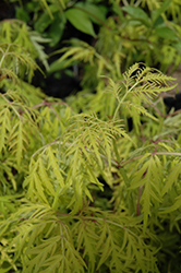 Lemony Lace® Elder (Sambucus racemosa 'SMNSRD4') at The Growing Place