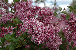 Bloomerang® Purple Lilac (Syringa 'Penda') at The Growing Place